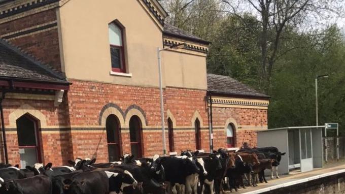 Cows on platform