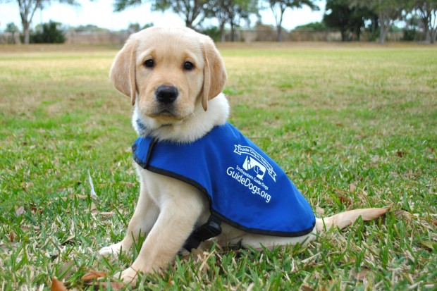 Guide-Dogs-Puppy-620x413